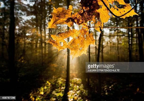 Autumn sun pours golden light on trees and morning mist at the the Eilenriede city forest in Hanover central Germany on November 11 2014 AFP PHOTO /...