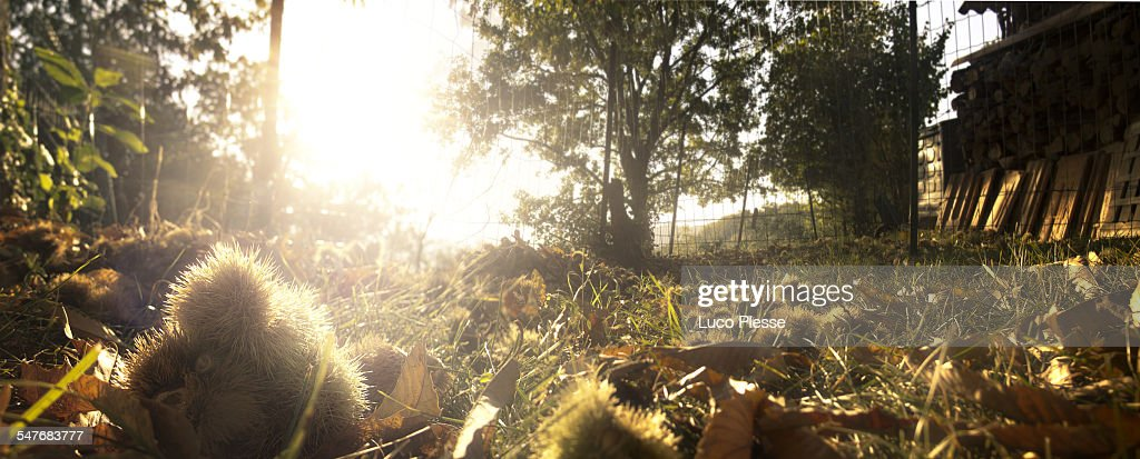 Autumn sweet chestnuts