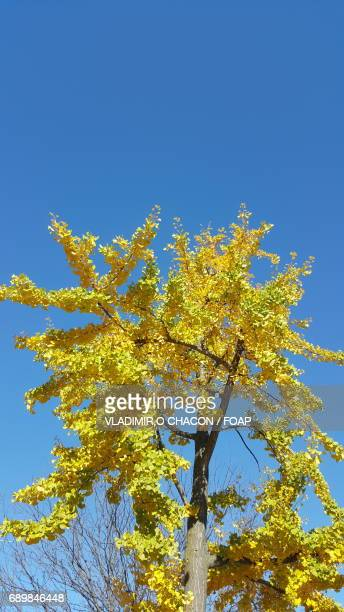 Autumn tree aginst blue sky