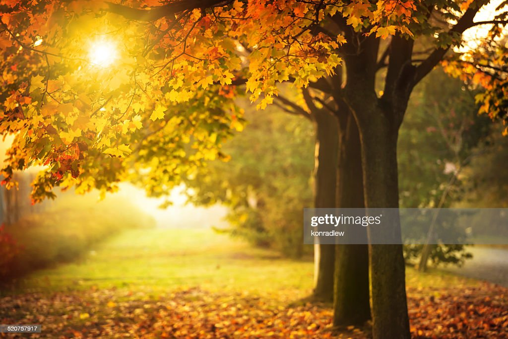 autumn tree and sun during sunset fall in park stock photo