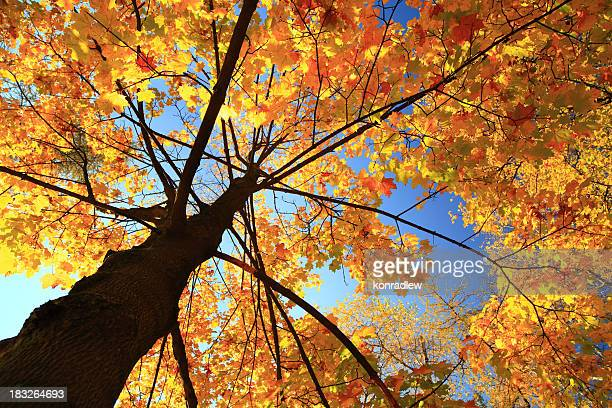 Autumn tree - fall leaves