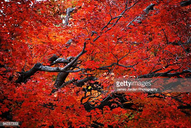 Autumn tree in the red zone