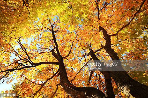 Autumn Tree Looking Up - Colorful Fall Leaves