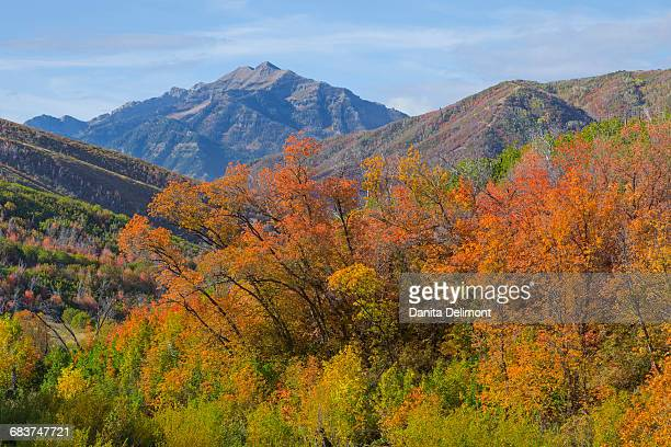 Autumn trees and mountains in background in Wasatch Cache National Forest, Utah, USA
