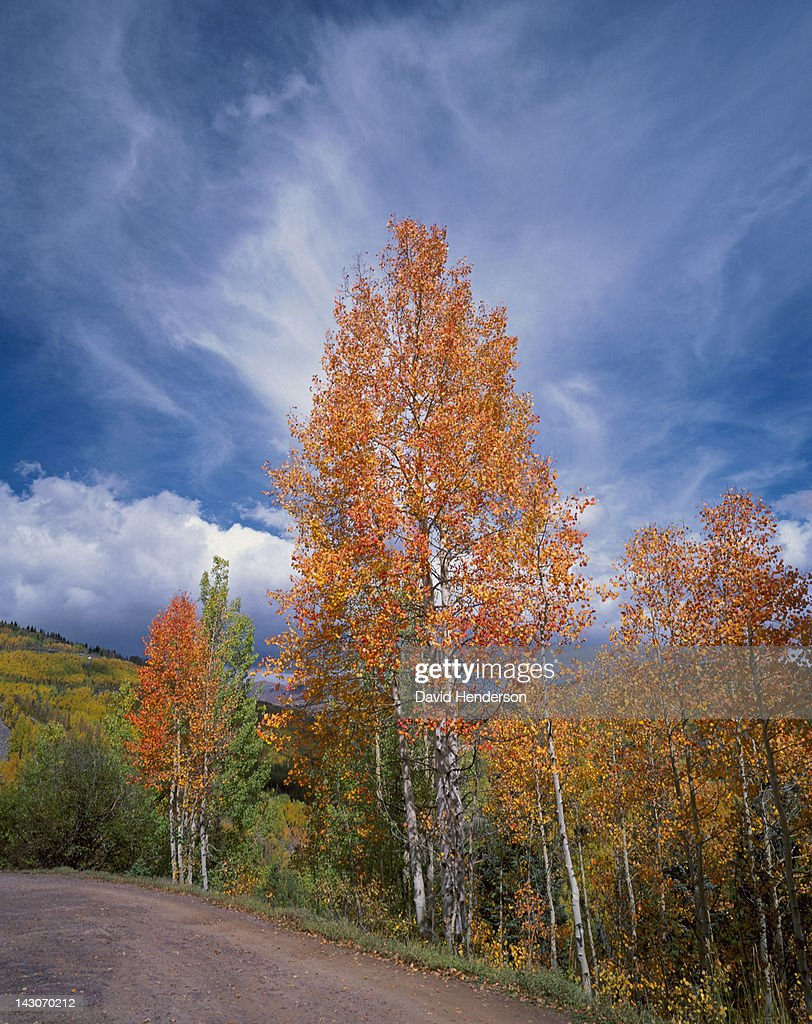 Autumn trees growing on rural road : Stock Photo