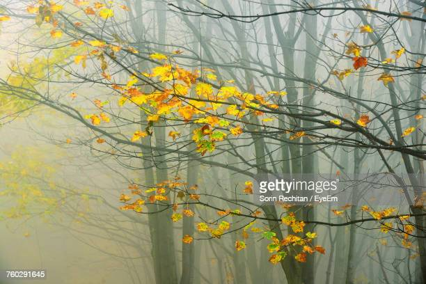 Autumn Trees In Forest During Foggy Weather