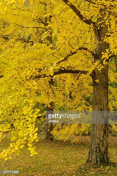 Autumn Trees in Peak Color