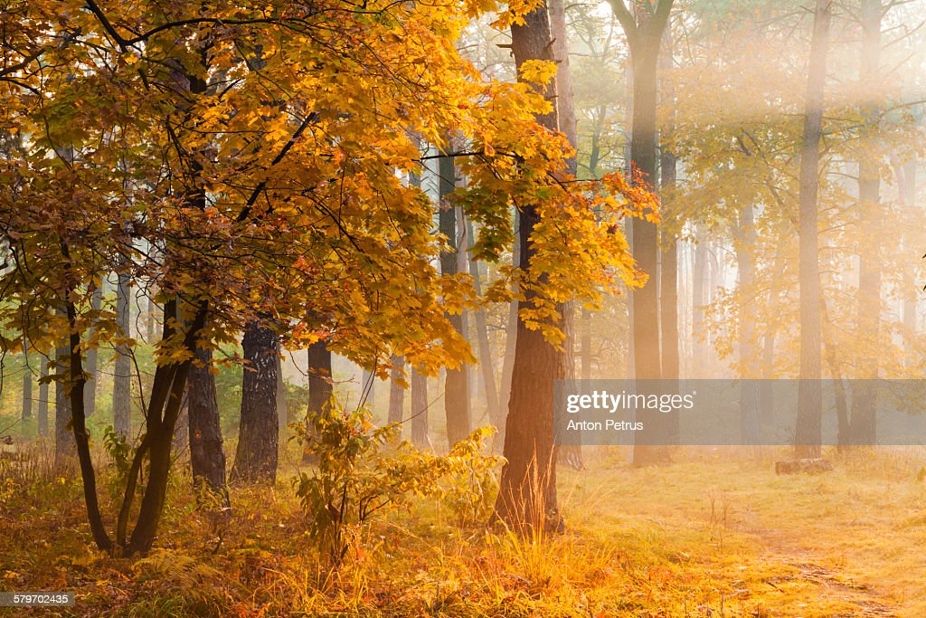 Autumn trees in the misty forest.