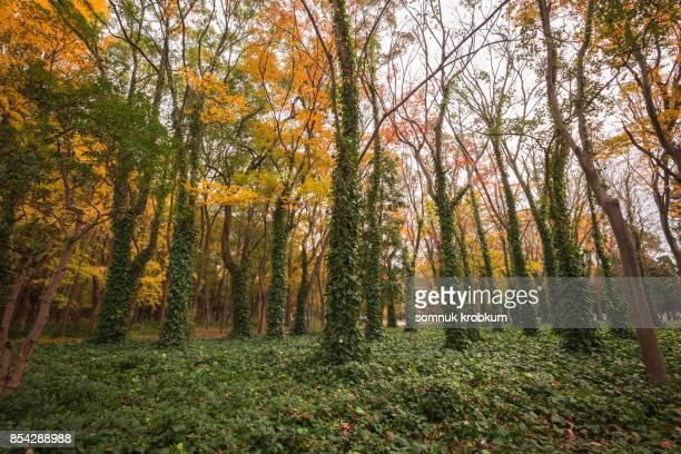 Autumn trees with vine