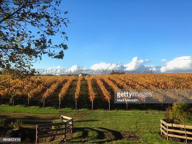 Autumn vines near Kumeu west of Auckland