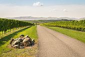 autumn vineyards landscape in Marlborough region, South Island, New Zealand
