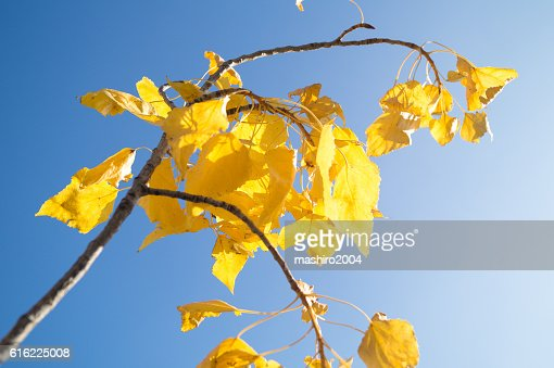 autumn yellow leaves in the blue sky : Stockfoto
