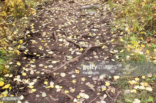 Autumn yellow leaves on a wide trail with roots : Foto de stock