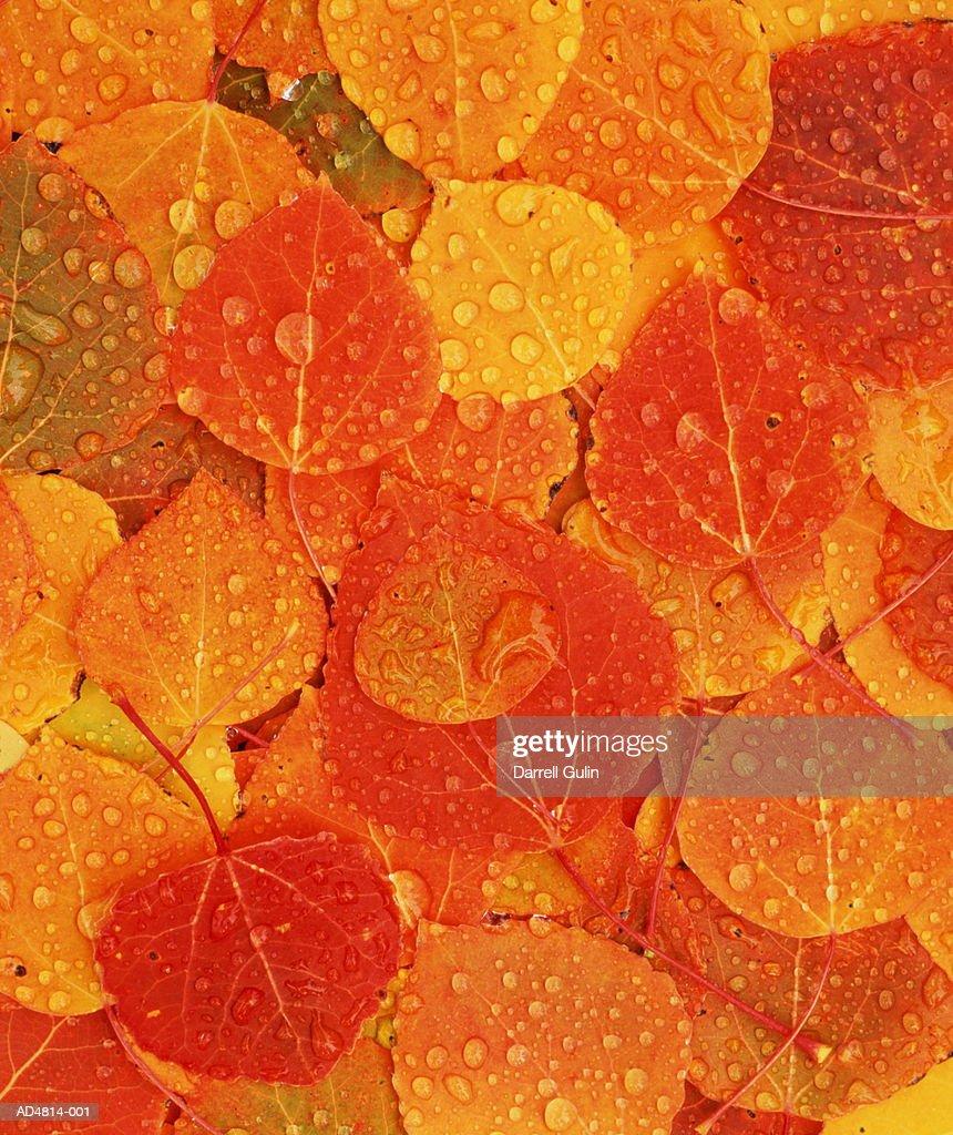 Autumnal aspen leaves, full frame : Stock Photo