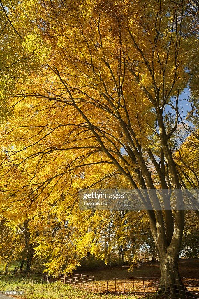 Autumnal beech trees, Hampshire, UK : Stock Photo