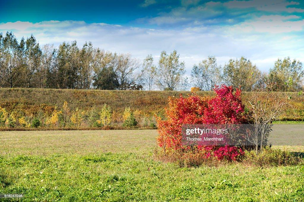 Autumnal colored bush : Stock Photo