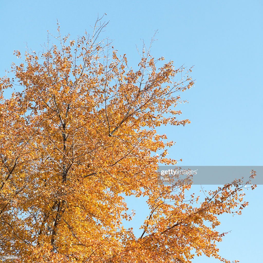 Autumnal Foliage on Tree : Stock Photo