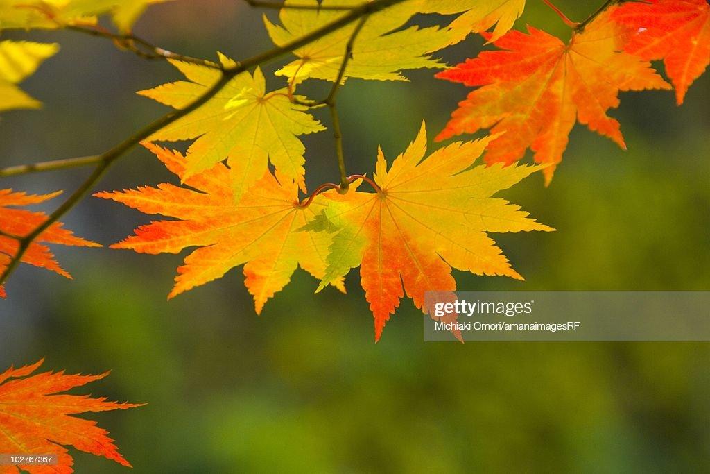Autumnal fullmoon maple leaves. Aomori Prefecture, Japan