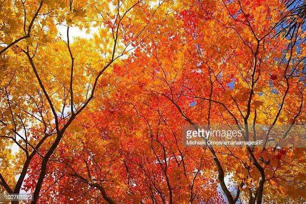 Autumnal fullmoon maple trees. Towada, Aomori Prefecture, Japan