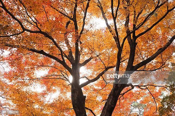 Herbstliche Ahorn Bäume japanische