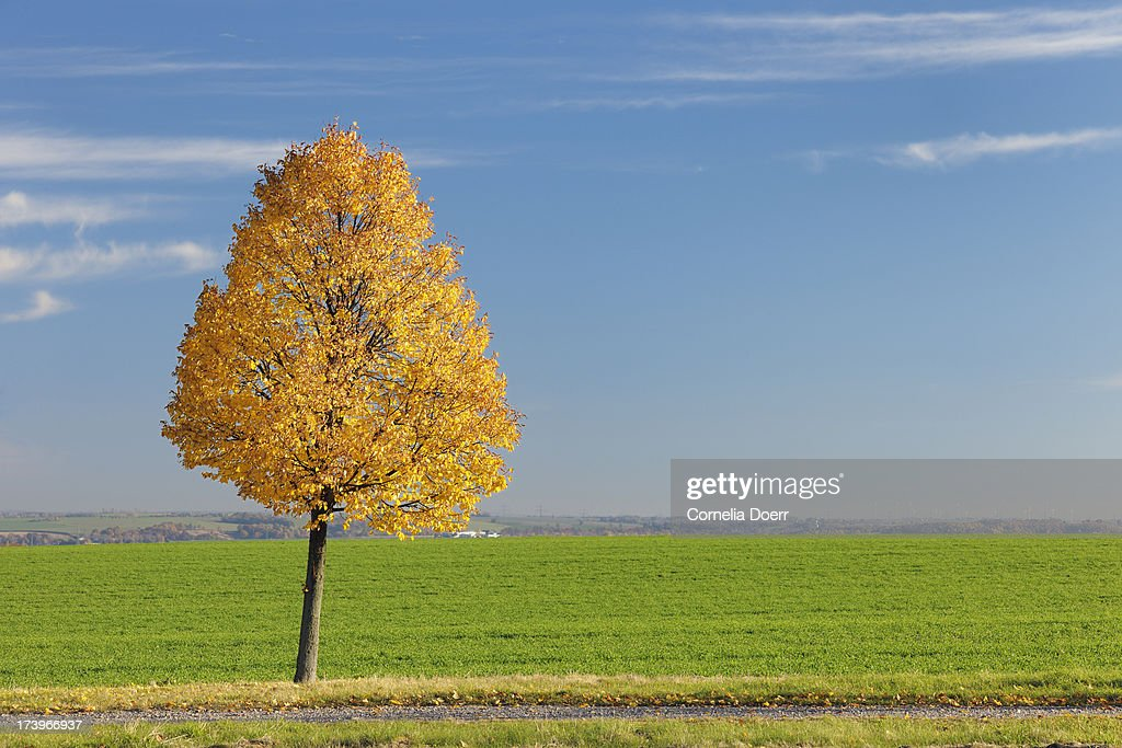 Autumnal lime tree : Stock Photo