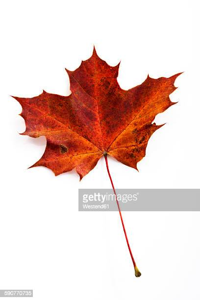 Autumnal maple leaf in front of white ground