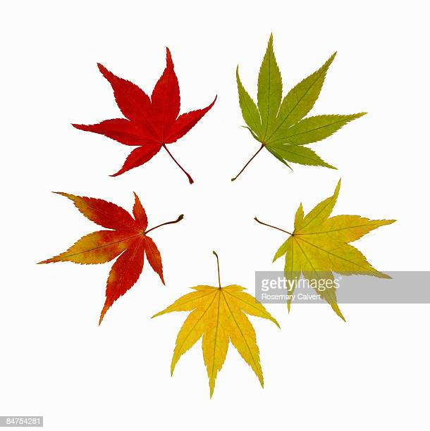 Autumnal maple leaves arranged to create a circle.