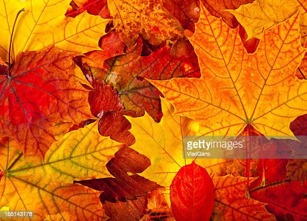autumnal maple leaves background