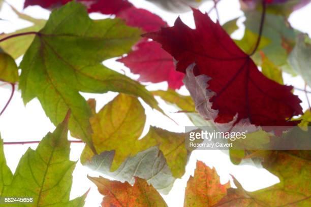 Autumnal maple leaves close-up, filling frame.