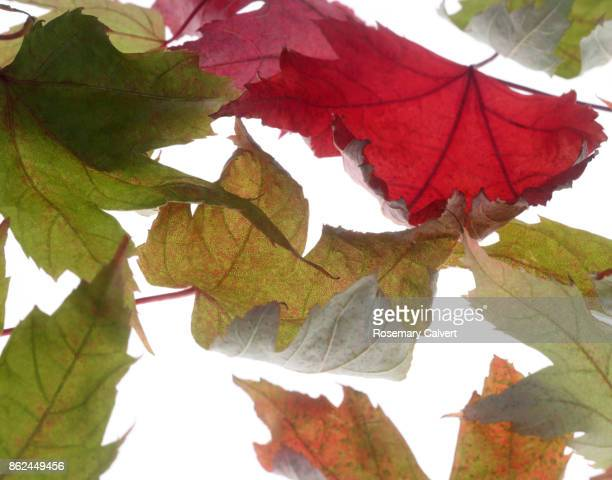 Autumnal maple leaves floating,in close-up,on white.