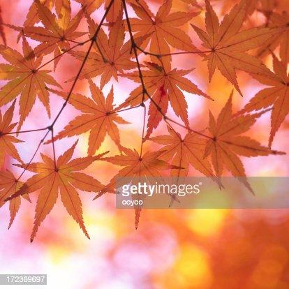 Autumnal orange leaves