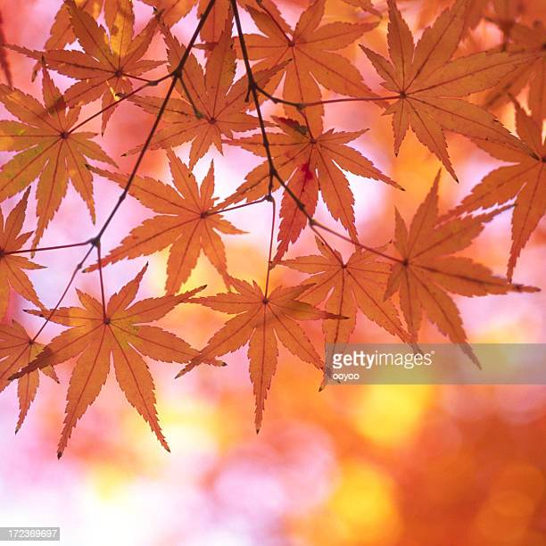 Autumnal orange leaves