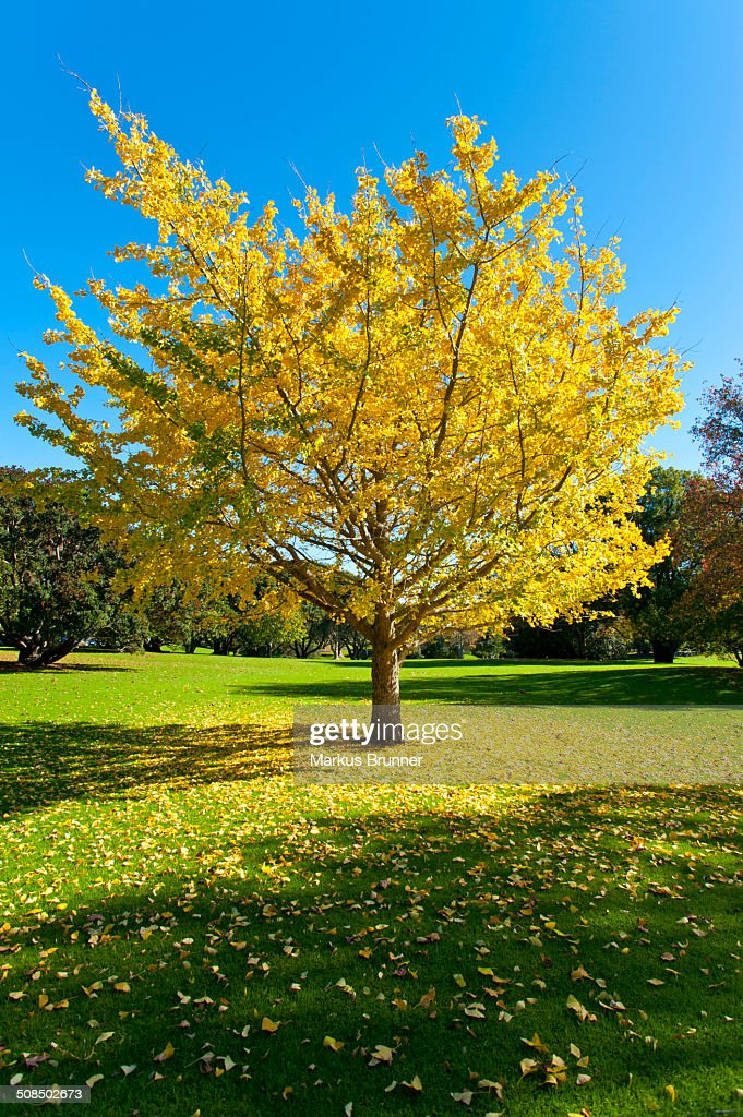 Autumnal tree, Ginkgo tree -Ginkgo biloba-, Western Springs Park, Auckland, North Island, New Zealand