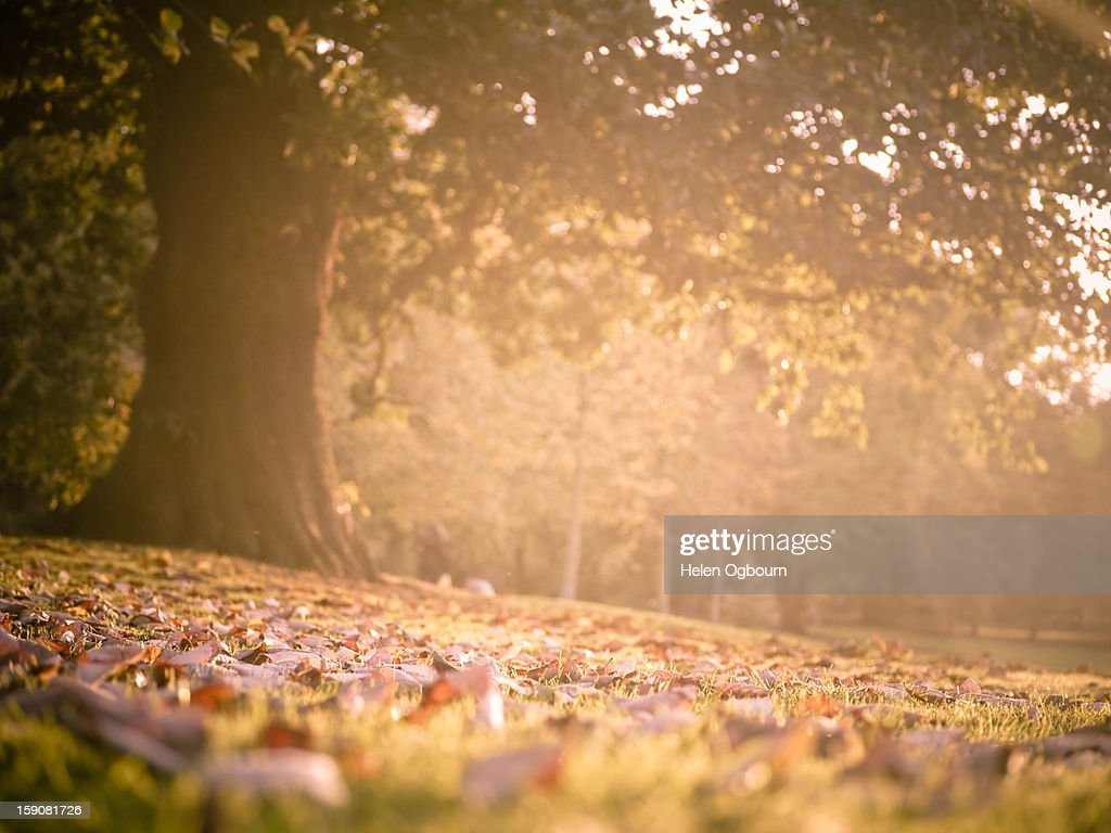 Autumn/Fall Tree in the Park : Stock Photo