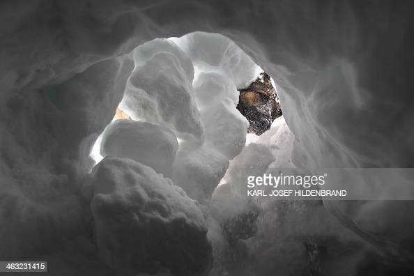 Avalanche dog Aico searches for a person buried by snow during a training on January 17 2013 near the Alpspitze mountain in GarmischPartenkirchen...
