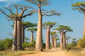Row of Baobab trees (Adansonia) in Madagascar. Location: Avenue de Baobab, Western Madagascar.
