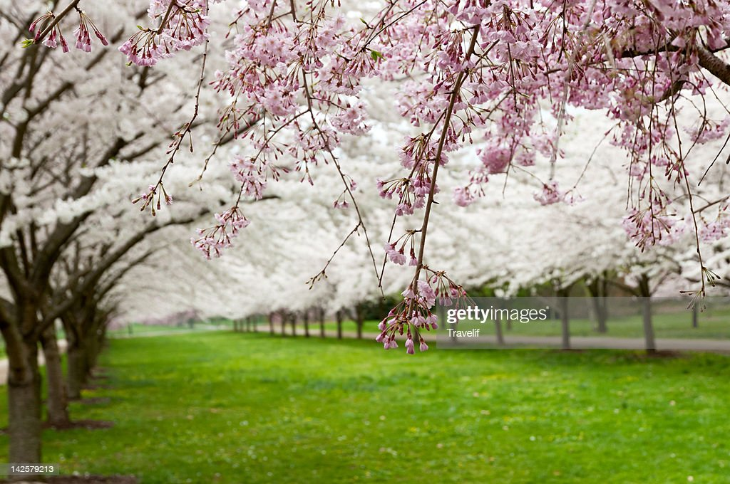 Avenue of blooming cherry trees in a spring garden : Stock Photo