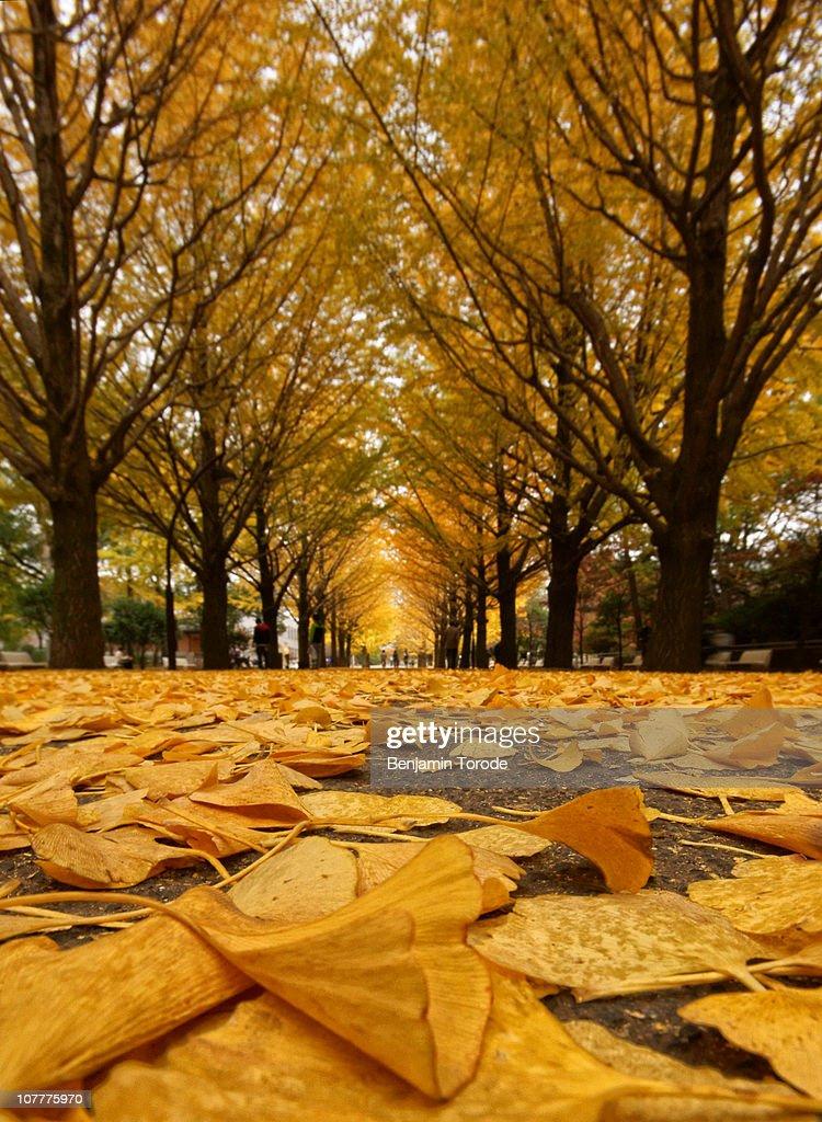 Avenue of fallen ginkgo leaves