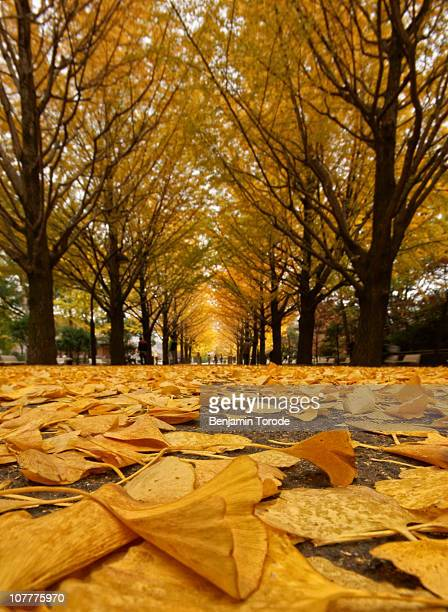 Avenue of fallen ginkgo leaves