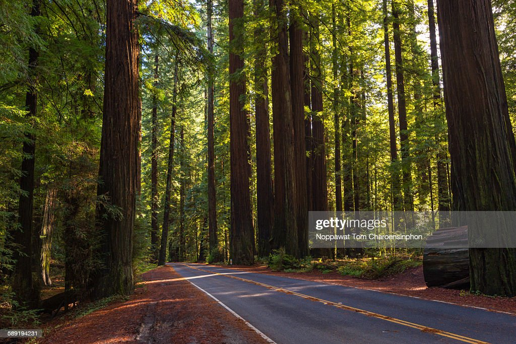 Avenue of giant redwood California
