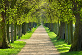 tunnel of lime trees, first green leaves