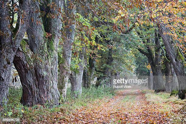 Avenue (line) of trees in autumn, rural road