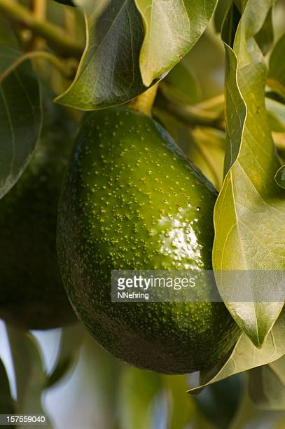 avocado, Persea americana, fruit and leaves