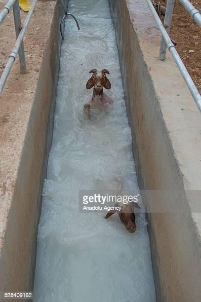 Awassi sheep get washed at disinfected water after they got sheared as they get ready for summer season by Turkish General Directorate of...