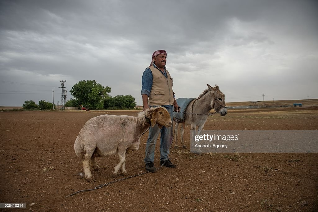 Awassi sheeps are seen as they get ready for summer season by Turkish General Directorate of Agricultural Enterprises (TIGEM) at Ceylanpinar agricultural enterprise in Sanliurfa, Turkey on May 4, 2016.