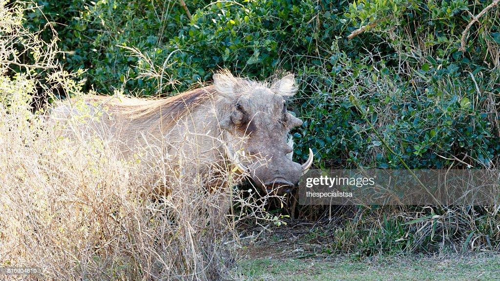 Away - Phacochoerus africanus  The common warthog : Stock Photo