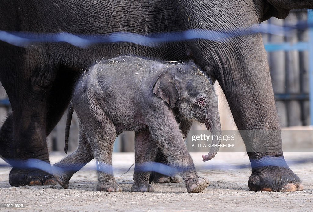 A-week-old baby elephant walks with its French mother Angele at Budapest Zoo and Botanic Garden on February 21, 2013 during its first presentation for the press. The newborn will be revealed to the public on Monday.