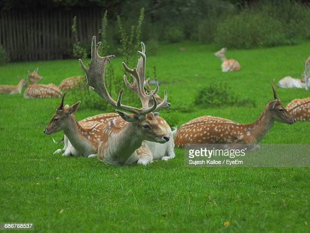 Axis Deer Resting On Grassy Field