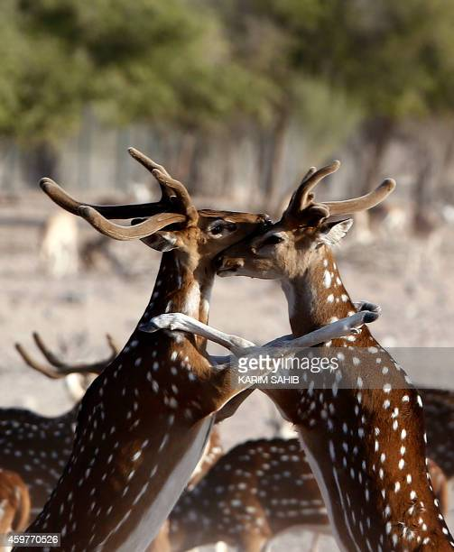 Axis deer roam on Sir Bani Yas Island one of the largest natural islands in the United Arab Emirates on November 27 2014 The 87square kilometre...