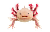 Axolotl (Ambystoma mexicanum) in front of a white background
